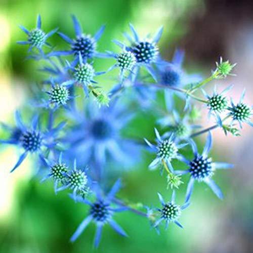 """Ultrey Samenshop - Blaue Edeldistel Samen""""Eryngium planum"""" Blumensamen Staudensamen Sommerblumen mehrjährig winterhart für Garten Beet/Wiesen"""