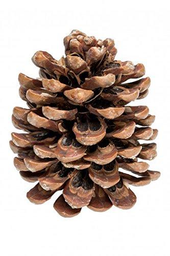 NaDeco Pinienzapfen 10-14cm 1 Stück Pinus Pinea Pinien Zapfen Tannenzafen Baumzapfen Kiefernzapfen Dekozapfen Zapfendeko