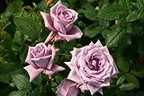 Mamy Blue® - Wurzelnackte Rose -A- Qualität