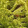 Sumpffarn (Thelypteris palustris) von Lichtnelke Pflanzenversand - Du und dein Garten