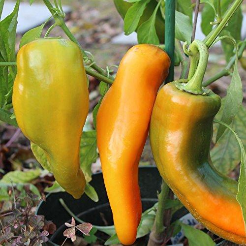 10 Samen Corno di Toro giallo Paprika - italienische Sorte, ertragreich