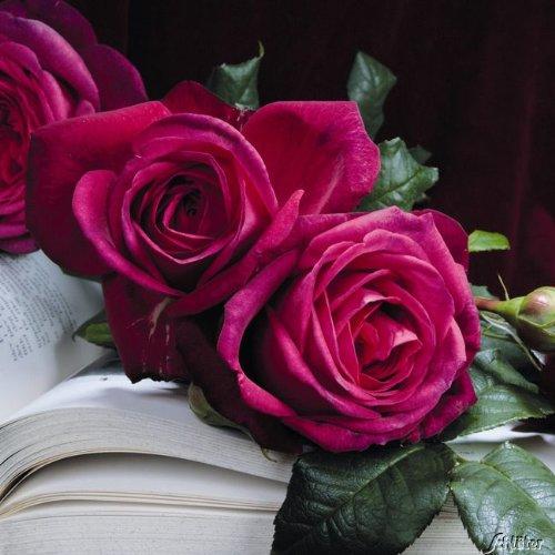 Edelrose Wolfgang von Goethe in purpur-pink - Duftrose winterhart - Rosen-Blüte in purpur-pink - Rose sehr stark duftend im 5 Liter Container von Garten Schlüter - Pflanzen in Top Qualität