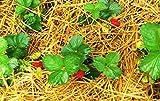 easystreu Stroh für Erdbeeren Gemüse natürlicher Schneckenschutz Anti-Fruchtschimmel 2kg