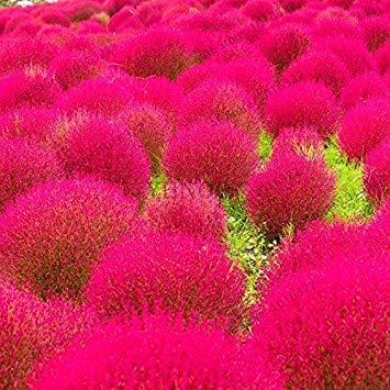 potseed semi zafferano fiore raro fiore biologica di piante da fiore in vaso da giardino planta facile da coltivare 120 pc/sacchetto