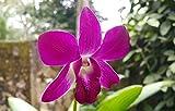 #7: Siam Garden Live Purple Dendrobium Orchid Plant