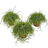 BOTANICLY | Zimmerpflanze | Rhipsalis Cassutha | 18 cm | Set aus 3 Pflanzen