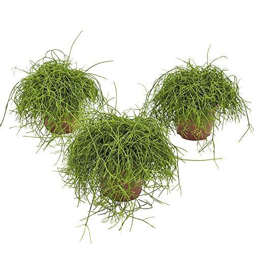 BOTANICLY | 3 × Zimmerpflanze – Rutenkaktus | Höhe: 18 cm | Rhipsalis Cassutha