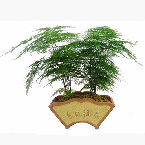 20seeds / pack Asperges setaceus Seeds maison petites graines graines de bambou chance de bambou pour la maison fleurs des plantes en pot planteurs