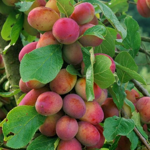 prunus-victoria-plum-fruit-tree-4-5ft-tall-supplied-in-a-5-litre-pot