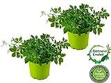 2er Set Jiaogulan Pflanzen Gynostemma pentaphyllum'vegetativ durch Steckling vermehrt' Kraut der Unsterblichkeit !