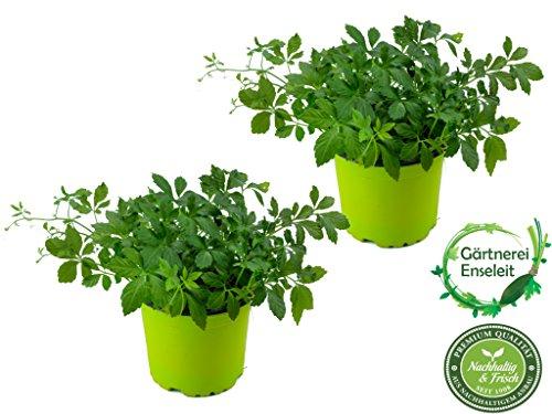 """2er Set Jiaogulan Pflanzen Gynostemma pentaphyllum""""vegetativ durch Steckling vermehrt"""" Kraut der Unsterblichkeit !"""