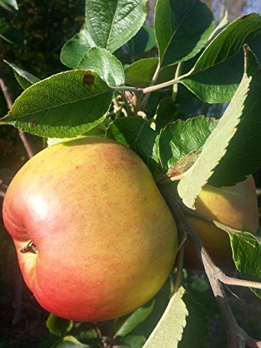 bramleys-seedling-apple-tree-4-5ft-ready-to-fruitthe-most-popular-cooker