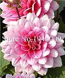Bloom Green Co. Hardy rÃsistant à la chaleur Dahlia DiffÃrentes plantes vivaces,...