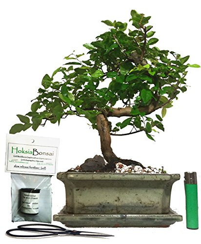 Sa20sg Chinese Bird Plum Flowering Indoor Bonsai Tree Gift Set Buy Online In Antigua And Barbuda At Desertcart Productid 66554203