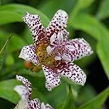 Tricyrtis hirta Kohaku - 1 plante