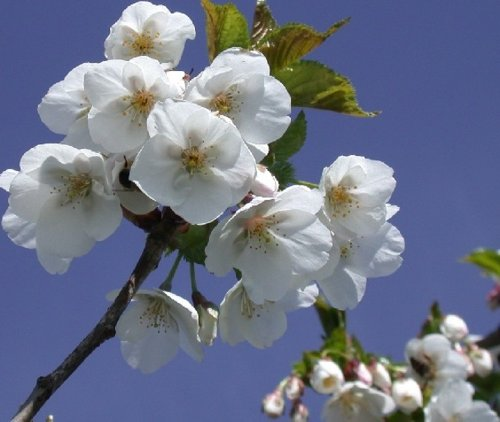 1x-5-6ft-prunus-umineko-specimen-japanese-flowering-cherry-tree-75l
