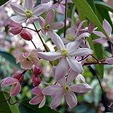 Clematis armandii Apple Blossom (Immergrün und Winterhart) Kletterpflanze - 1,5 Liter Topf - ClematisOnline Kletterpflanzen und Blumen