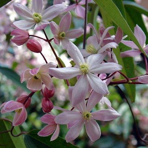 Clematis armandii Apple Blossom (Immergrün und Winterhart) Kletterpflanze - 1,5 Liter Topf - ClematisOnline Kletterpflanzen und Blumen -
