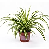 Advancedestore Live Spider Plant For Indoor Or For Decorating Home