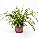 #5: Advancedestore Live Spider Plant For Indoor Or For Decorating Home