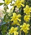 Echter Winterjasmin - Jasminum nudiflorum 60-100 cm, von Gartengruen24 - Du und dein Garten