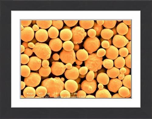 framed-print-of-kluyveromyces-lactis-yeast