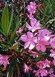TROPICA - oleandro (Nerium Oleandro) - 50 Semi