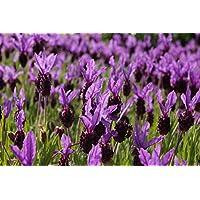 Naissance Aceite Esencial de Lavanda 100ml - 100% puro, vegano y no OGM
