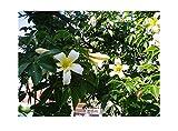 8x Magnolia Daphne Butterflies Yellow Bird Gelb/Weiß Samen Blume #375