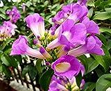 #7: Garlic Creeper / garlic vine (Mansoa alliacea) healthy live flowering plant. Organically grown in our garden.