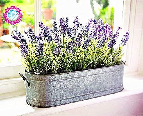 Plentree Samen Paket: 200pcs Provence Lavendel Bonsai stark duftend Kann gut in Topf oder Bonsai wachsen für Hausgarten (Wachsen Lavendel)