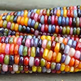 SummerRio 10/20/50 Stück Mais Samen Lebensmittel essbares organisches seltenes Gemüse Korn sät Hausgarten (20)