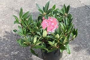"""Rhododendron """"Marie Forte"""" - Plants adultes hauteur 50cm - Fleurs rouge vif"""