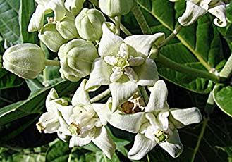 Plant House Live Safed Aak-Calotropis gigantea White Flower Medicinal Plant with Pot