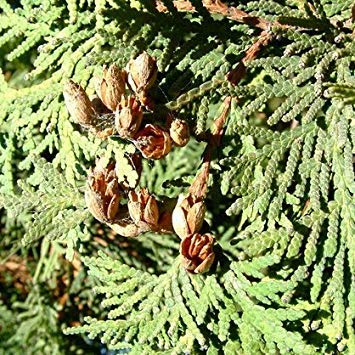 50pcs árboles de ciprés semillas Platycladus orientalis semillas de coníferas jardín de...