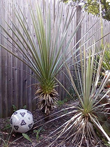 Portal Cool Yucca Glauca 10 Samen (Graines)