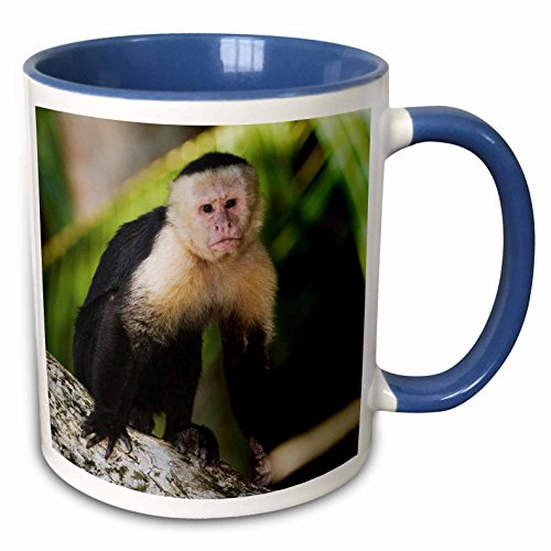 3dRose White-Faced Capuchin AFFE, Costa rica-na02rnu0827-rolf nussbaumer-Two, Tasse, Keramik, Blau/Weiß, 10,16x 7,62x 9,52cm