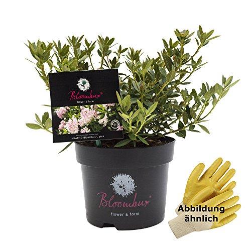 """Rhododendron micranthum""""Bloombux"""" ®, Buchsbaumalternative, 2ltr. Topf, ca. 20-25 cm hoch, 1 Pflanze"""