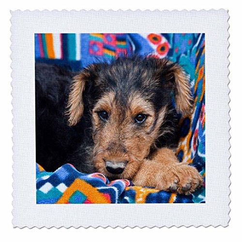 3Ein Airedale Puppy Hund liegend down-us32zmu0005-zandria Muench beraldo-quilt Platz, 8von 20,3cm (Quilt Square Hund)