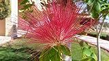 2 Töpfe Seidenakazie (Albizia julibrissin) wunderschöner Seidenbaum Schlafbaum
