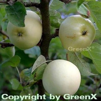 Apfelbaum Weißer Klarapfel 60-80cm - knackig und säuerlich von Baumschule auf Du und dein Garten