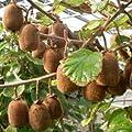 lichtnelke- Selbstbefruchtende Kiwi (Actinidia deliciosa) Boskoop von Lichtnelke Pflanzenversand bei Du und dein Garten