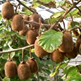 lichtnelke- Selbstbefruchtende Kiwi (Actinidia deliciosa) Boskoop