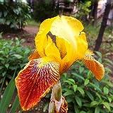 Portal Cool Rare 50Pcs Gelb Braun Iris Samen Topfpflanzen Stauden Blumen Hausgarten
