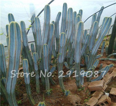 Big Sale 100 Pcs Très rare Graines long Cactus mixte Succulent Graines Purify Prism Air Garden Bonsai plantes résistant à la chaleur 10