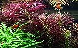 Tropica Aquariumpflanze Limnophila hippuridoides Nr.047C Wasserpflanzen Aquarium Aquariumpflanzen