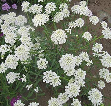 Farmerly Healthy Bee Flower Room - Snow Tower Flower Seeds, Snow White Color Petals, No Gm Seeds (110 Seeds) Sd1500-0536