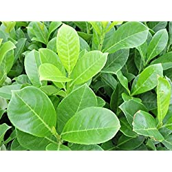 50 Stück Kirschlorbeer 'Rotundifolia' (Prunus lauroc. 'Rotundifolia') im Topf 15-25cm