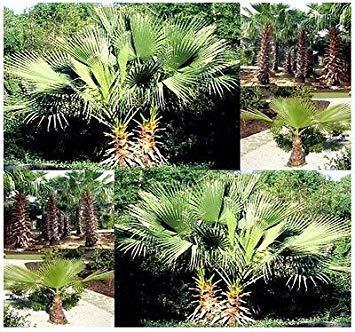 vegherb (10) California Fan Palm, Samen -Washingtonia Filifera -Aka Wüste Fan Palm Seeds