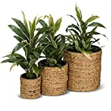 3er Set Pflanzkübel Blumenkübel RENDONDO Wasserhyazinthe, Maße: 44x44x44 cm, 32x32x32 cm und 22x22x22 cm, braun - Pflanztopf, Pflanzgefäß für Innenbereiche